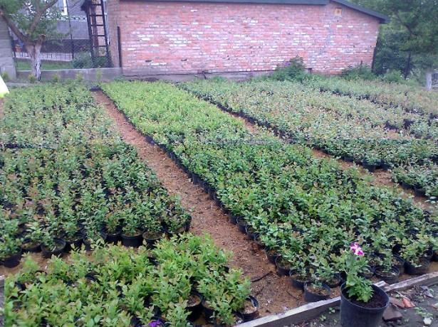 Выращивание клюквы в промышленных масштабах
