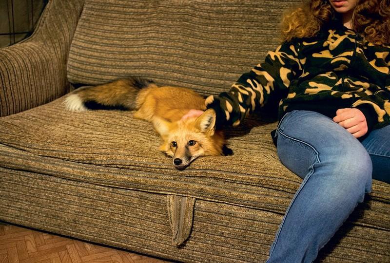 Лиса в домашних условиях фото