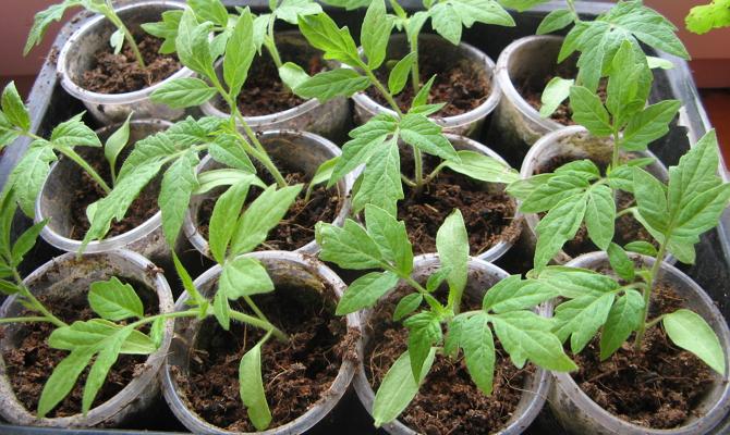 Ганичкина выращивание рассады томатов в домашних условиях
