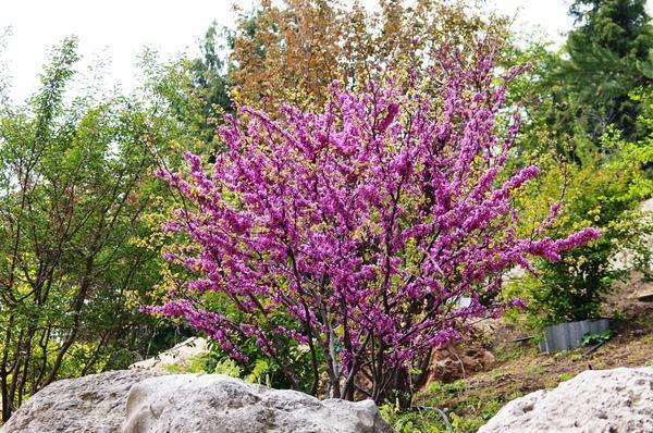 жизнь цветущие в крыму кустарники фото и названия этом архиепископ вениамин