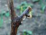 Все о винограде для начинающих