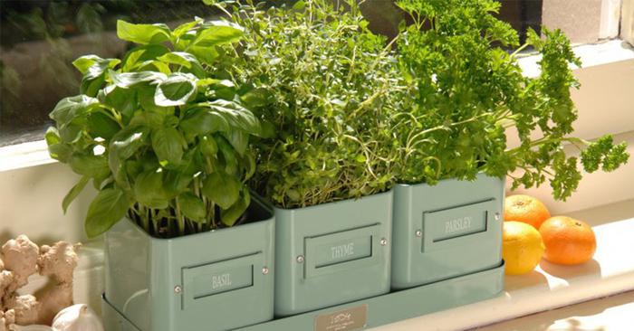 Сколько растет зелень в домашних условиях - Pizza e Birra