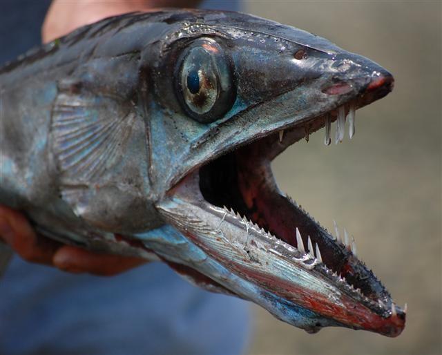 вырос рыба пилозуб картинки генеральский, рецепт которого
