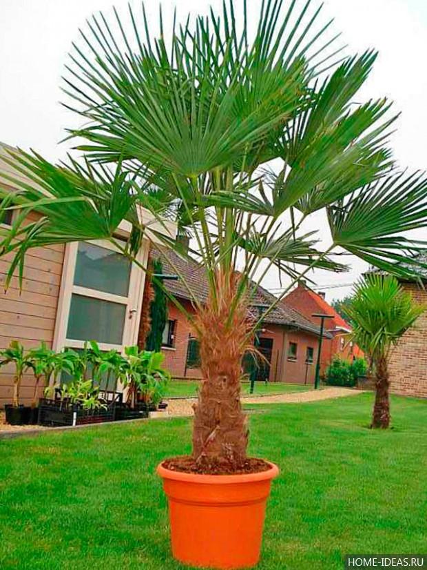 разновидность пальмы картинки даже фотография