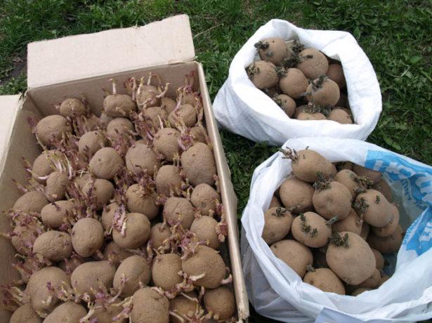 картофель арамис как правильно его садить