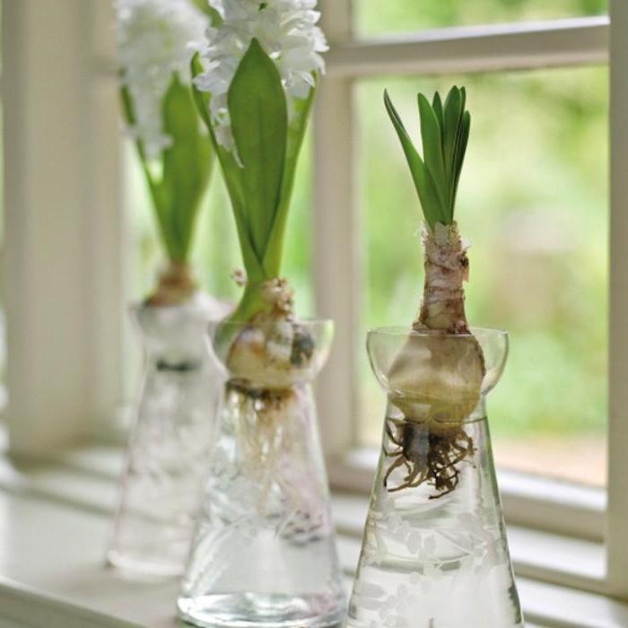 Как выращивать гиацинты в домашних условиях к 8 марта?