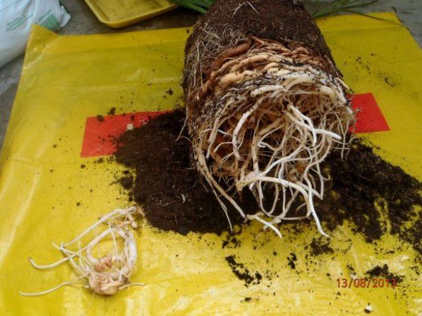 Как посадить герань с корнями в горшок