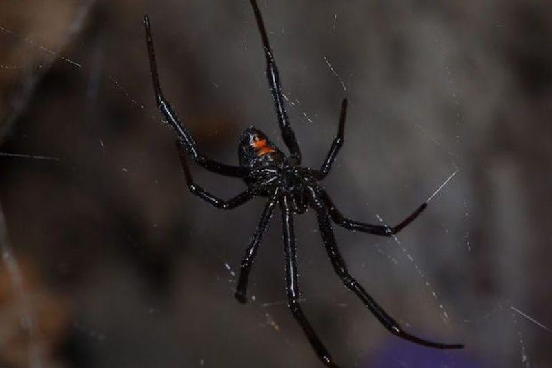 Black widow spiders nest