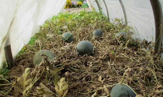 Выращивание арбуза и дыни в подмосковье 8