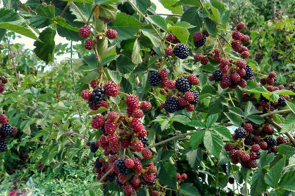 Выращивание ежевики на украине 81