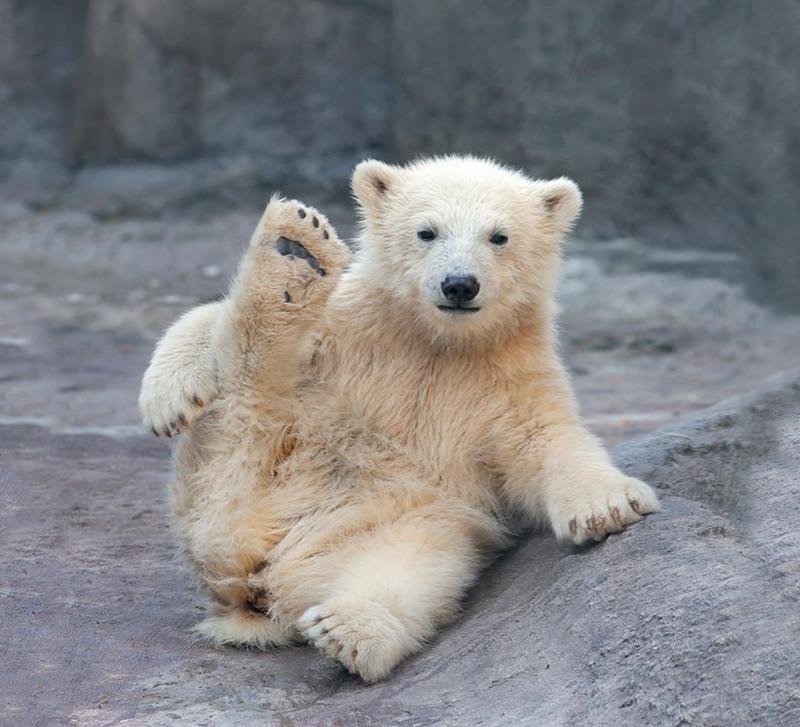 Днем рождения, картинки медведей белых смешные
