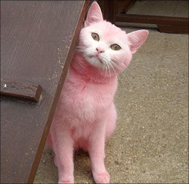 de flea pregnant cat