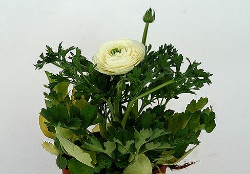 Лютик, ранункулюс (Ranunculus)