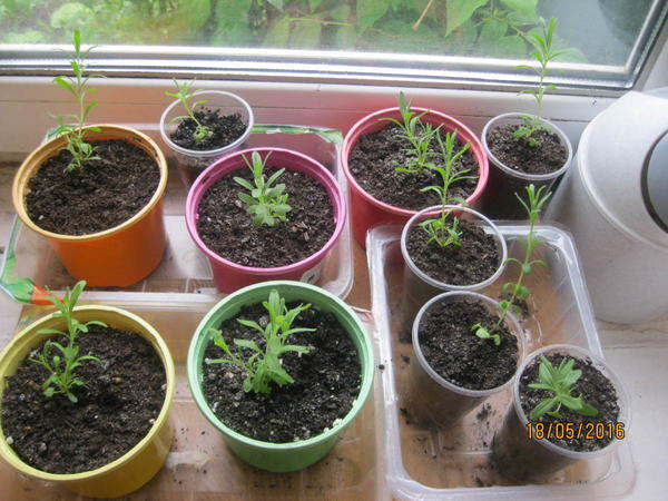 Семена лаванды в домашних условиях 3